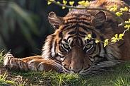 Sumatran Tiger Lying Down Looking At Camera