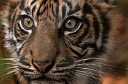 Sumatran tiger Cub Close up