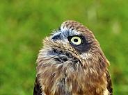 Australian Boobookowl