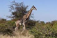 Giraffe (Giraffa camelopardalis) - Botswana