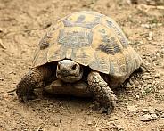 Greek tortoise (Testudo graeca)