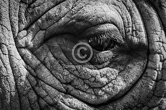 Black Rhino Eye