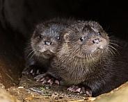 Eurasian Otter kits