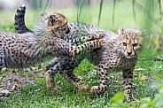 Young Cheetahs Playing
