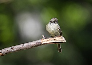 Hammond's Flycatcher in Alaska