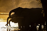 Elephant in the water. Silhouette