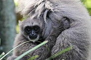 Silvery Gibbon Baby