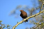 Female Blackbird
