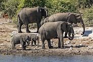 Baby Elephants - African Elephants