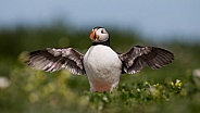 Puffin the birds from the arctic.