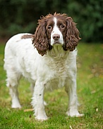 Elderly Springer Spaniel