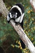 White-Belted Black-And-White Ruffed Lemur