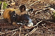 African Wild Dog (Lycaon pictus)
