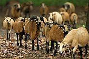 Cameroon Sheep