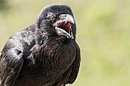 Raven Beak Open Shouting