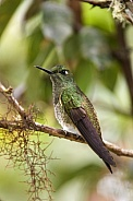 Buff-tailed Hummingbird - Mindo Cloud Forest - Ecuador
