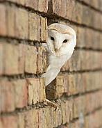 European Barn Owl Portrait in Wall