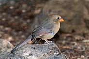 Desert Cardinal (Female)