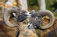 Two Male Mouflons