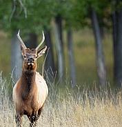Spike bull elk in rut.
