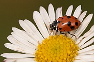 Spotted Amber Ladybird on daisy