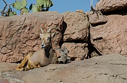Bighorn Sheep - Ewe with Lamb