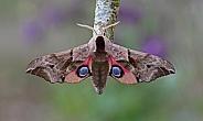 Eyed Hawkmoth
