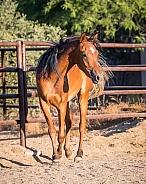 Chestnut Arabian horse in the corral