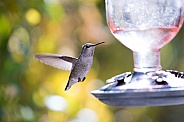 Hummingbird by feeder