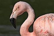 Chilean Flamingo Face Shot