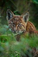 Carpathian Lynx Cub (Lynx lynx)