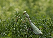 Praying mantis,Mantodea,