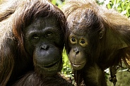 Mother and Daughter Bornean Orangutan Face Shot
