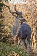 Male Kudu - Botswana