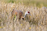 Lesser Sandhill Crane Standing in a Field in Alaska