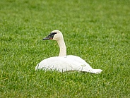 Trumpeter Swans on grass