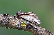 Swallow Prominant moth