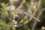Close up of damselfly with flower stem