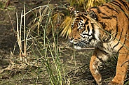 Sumatran Tiger Prowling from the Right