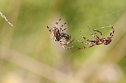 Orb weaver male and female . Spiders