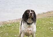 Spaniel waiting for the ball