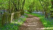 Bluebell path