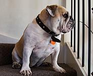 British or English bulldog