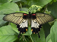 Great Yellow Mormon Butterfly - Indonesia