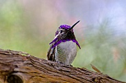 Hummingbird - Costa's Hummingbird