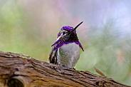 Hummingbird - Costa's Hummingbird
