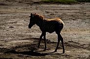 Zebra Foal Twilight