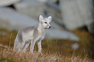 Arctic Fox Juvenile