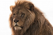 African Lion Male Head Shot