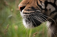 Sumatran Tiger Nose And Whiskers Close Up Side Profile